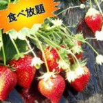 tate_kanko_ichigo-1