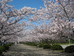 yacho-sakura