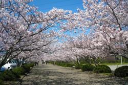 spring_sakura1
